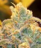 Cannabis Growing Help