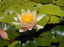 new-waterlily