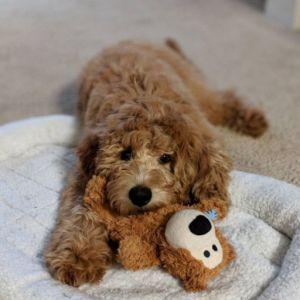 Sadie-g-pup17