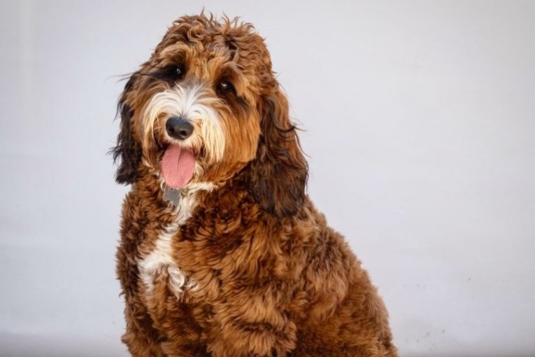 F1 Springerdoodle main gallery photo