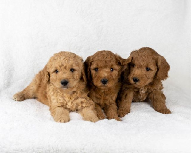 F1B Goldendoodle MAIN PHOTO