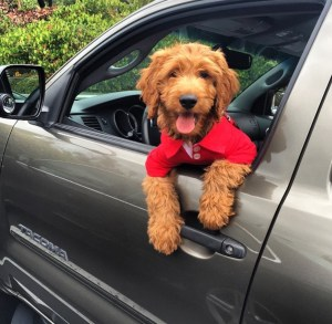 Photo Gallery- F1 Goldendoodle 29