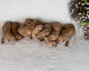 Buttercup's Newborn Photos (Males on right side)