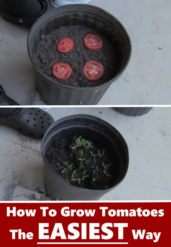 Keep Fresh Greenery At Grasp With Vegetables That Regrow From Scraps-usefuldiyprojects (9)