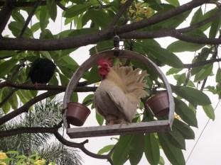 Ayam lucu ini juga bisa ditemukan di salah satu gang