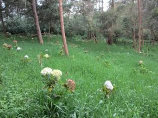 Bunga hortensia