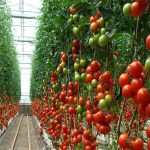 6 Simple Tips To Grow Large Tasty Tomatoes