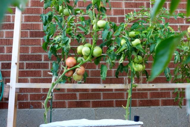 種植牛番茄-再次嘗試 « 北七小農