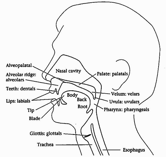 #1376. 音声器官の図