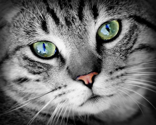 Is Your Cat Facing Eye Infections