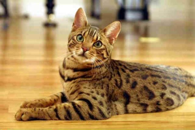 Hasil gambar untuk The Bengal Cat