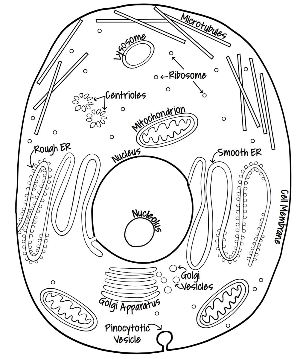 Plant & Animal Cells Lapbook
