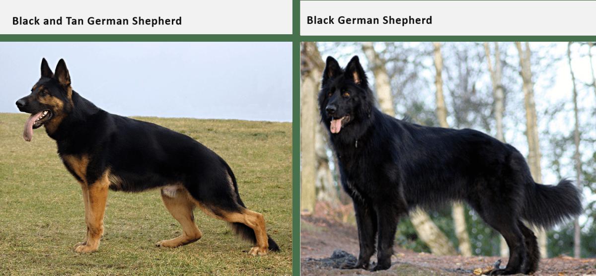 german shepherd coat and