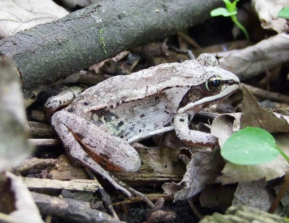 Cryobiology Frozen Wood Frogs And Adaptations For