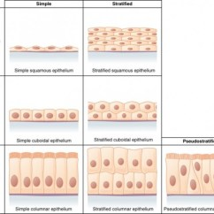 Compound Microscope Diagram 06 Chevy Silverado Stereo Wiring Epithelial Tissue: Characteristics, Types, And Functions   Owlcation