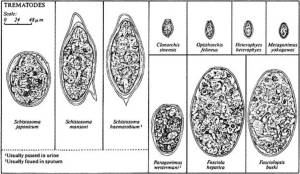Life History of the Blood Fluke (Schistosoma sp) | Owlcation