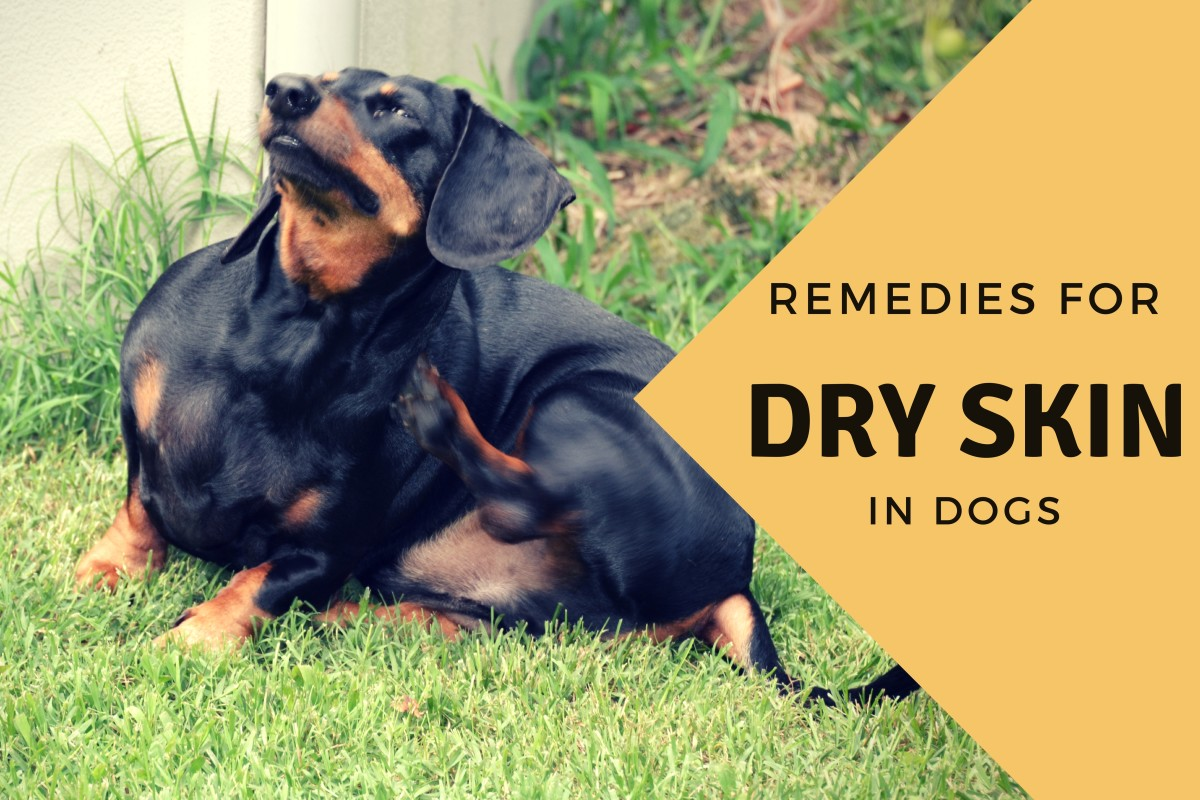 Effective Home Remedies for a Dog With Dry Skin   PetHelpful