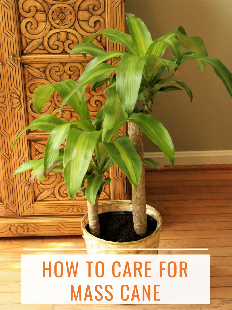 How to Care for Mass Cane aka Corn Plant or Dracaena