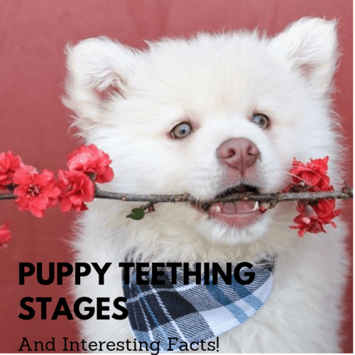 small resolution of understanding puppy teeth stages