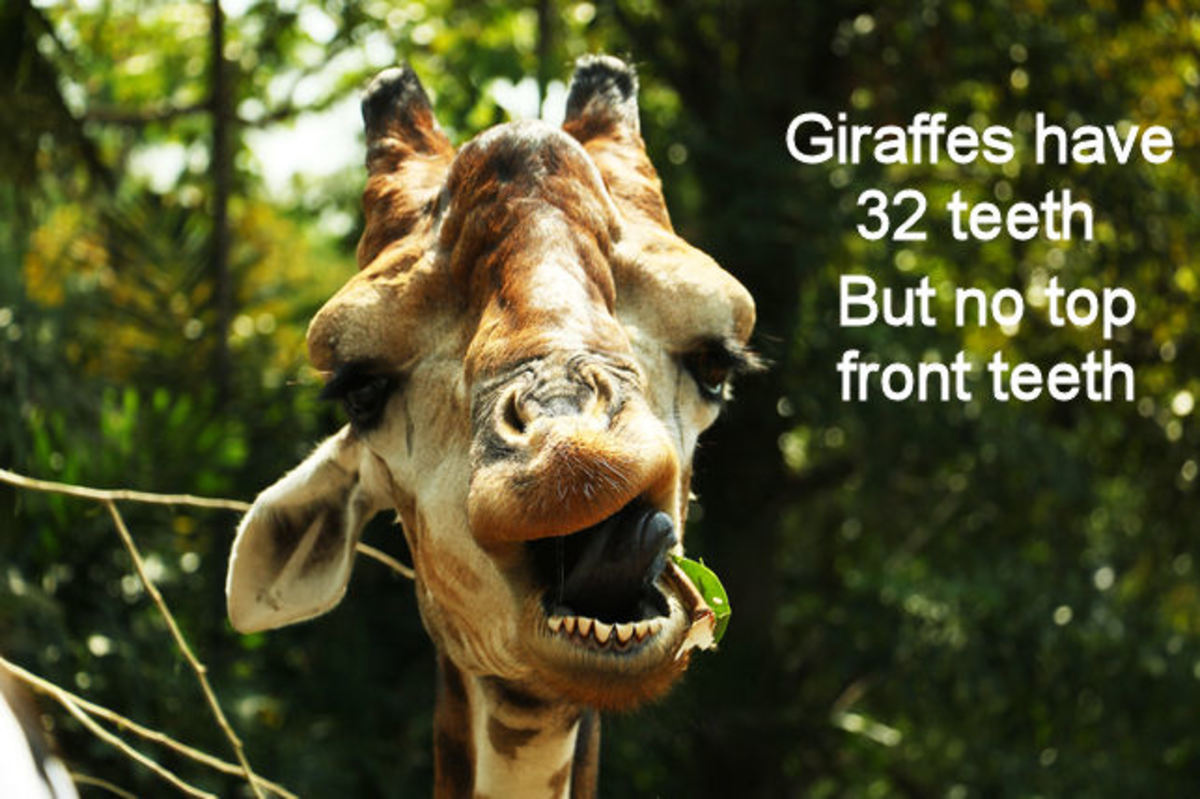30 Giraffe Facts And Photos Fun Animal Facts For Kids