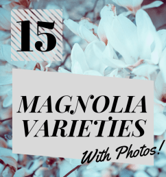15 types of magnolia trees and shrubs with photos  [ 1024 x 1024 Pixel ]