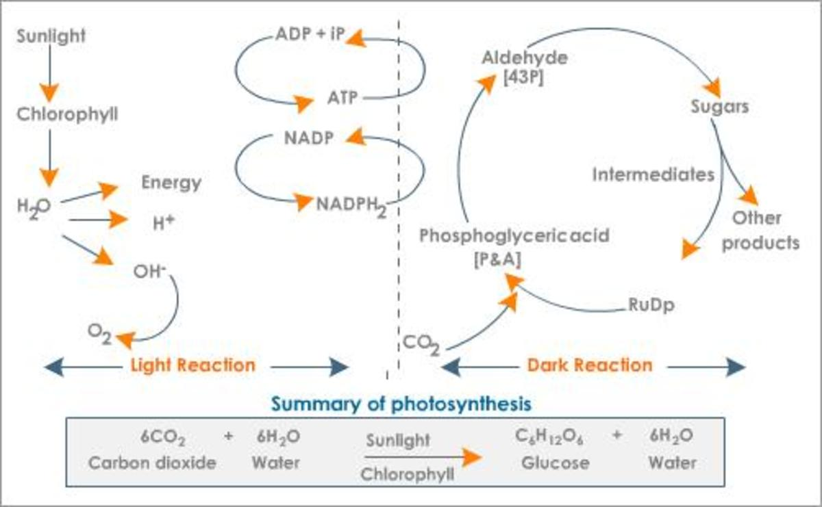 simple electron transport chain diagram ac wiring diagrams how photosynthesis works | hubpages