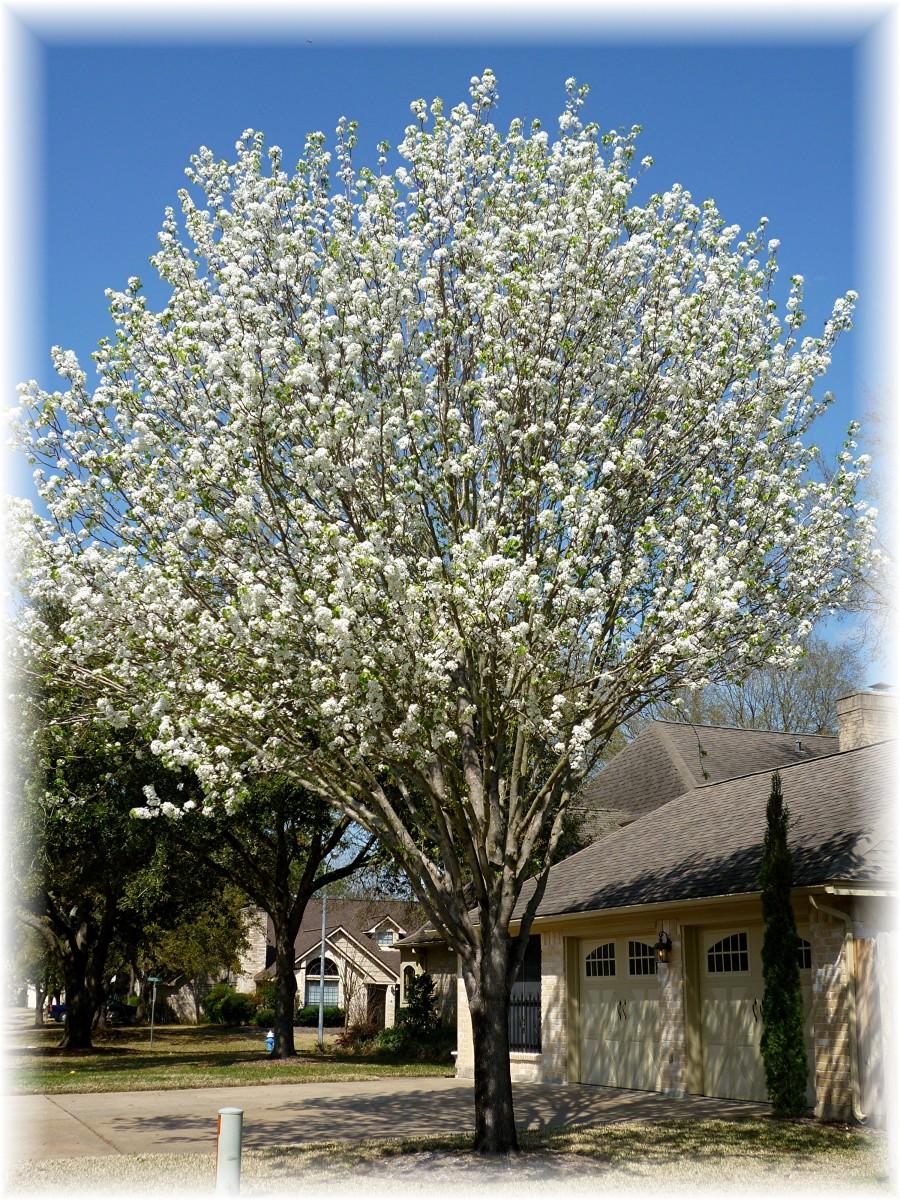 Non Fruit Bearing Crabapple Tree