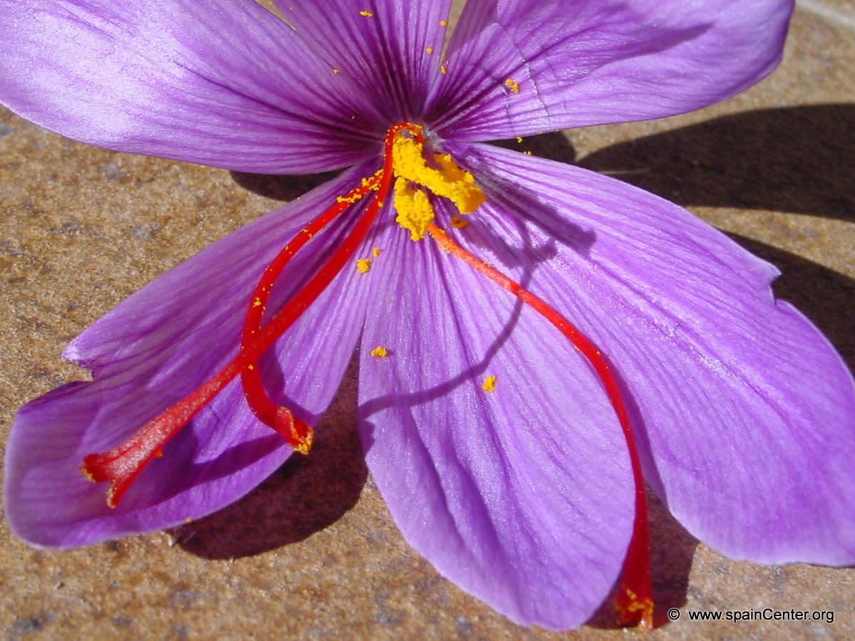 Growing Saffron  HubPages