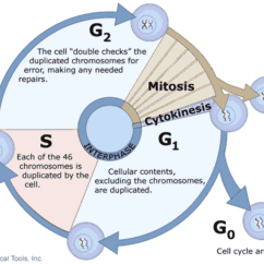 Phase Diagram Quizlet Mk4 Jetta Trailer Wiring Stages Of The Cell Cycle - Mitosis (interphase And Prophase) | Owlcation