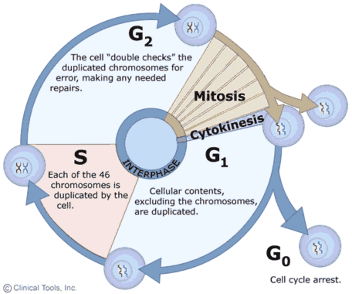 phase diagram quizlet dremel 4000 parts mod stages of the cell cycle - mitosis (interphase and prophase) | owlcation