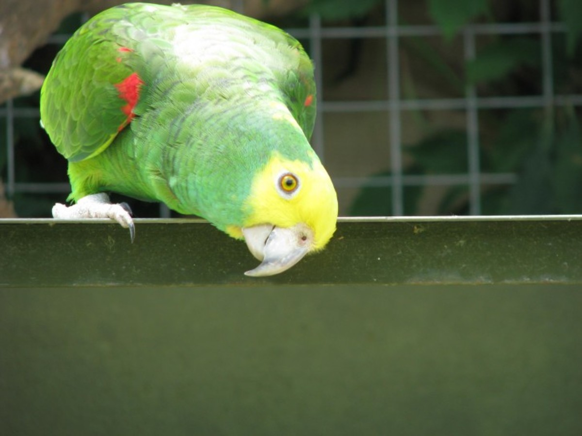 Parrots use theirs almost as an extra hand, moving food around while the beak removes husks and shells.