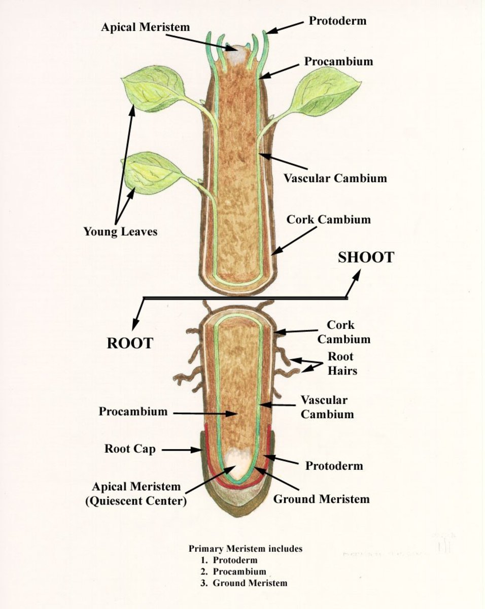 plant root hair diagram electric light switch wiring internal structure of hubpages
