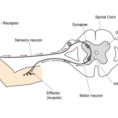 Diagram Of A Simple Reflex Arc Jeep Jk Stereo Wiring Action And What Happens When You Accidentally To Illustrate