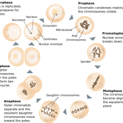 Simple Diagram Of Meiosis Profibus Cable Wiring Cell Division Mitosis And Owlcation Stages