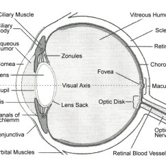 Parts Of The Eye Diagram And Function Fender Blacktop Jazzmaster Wiring Internal Functions Hubpages