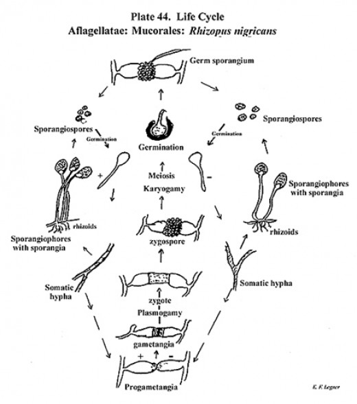 fungus cell diagram labeled wiring for light bar rocker switch classification of fungi | hubpages