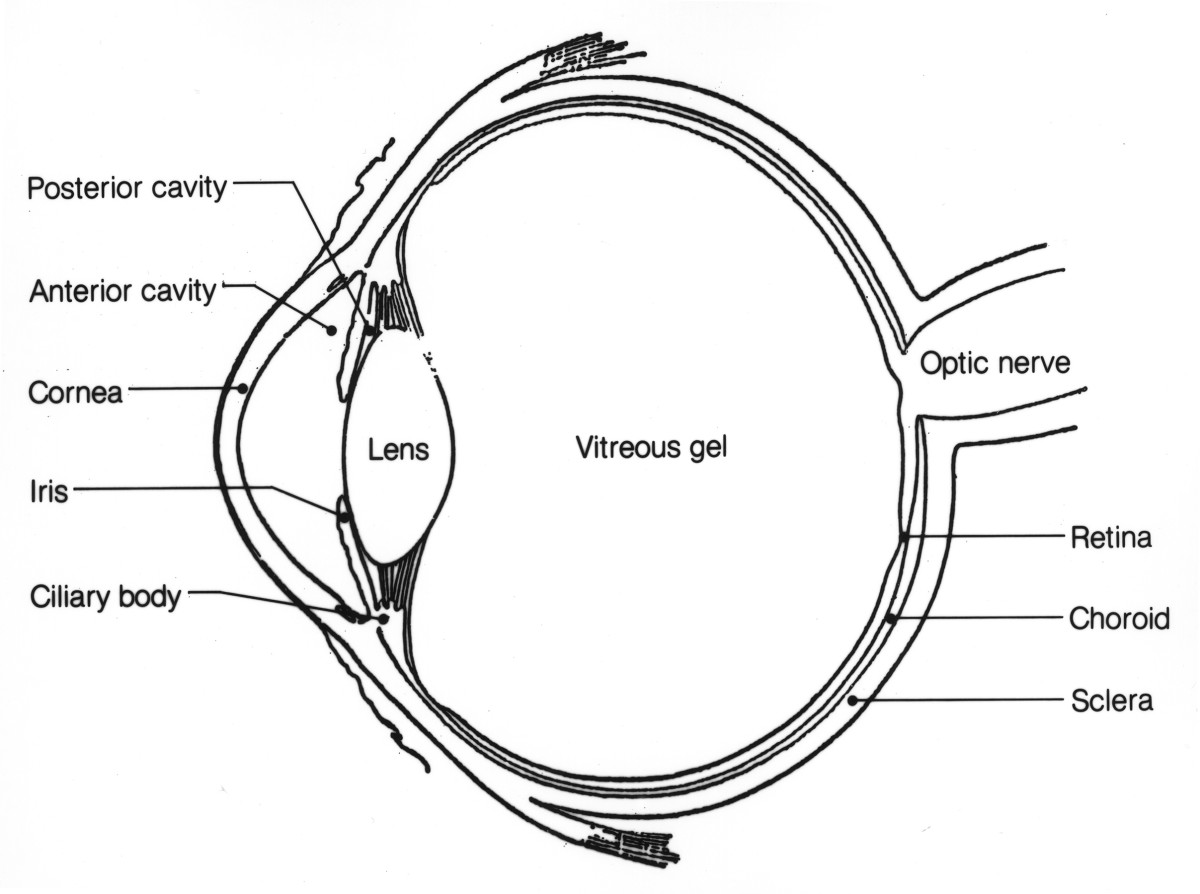 frog inside diagram 1 ohm speaker wiring anatomy of the eye: human eye | owlcation