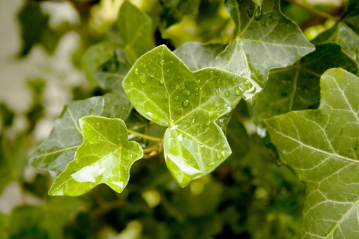 English ivy leaves