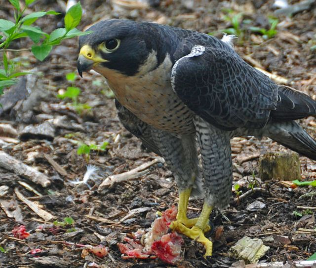 An Adult Peregrine With An Unidentifiable Prey Item This Particular Bird Was Photographed In Nova
