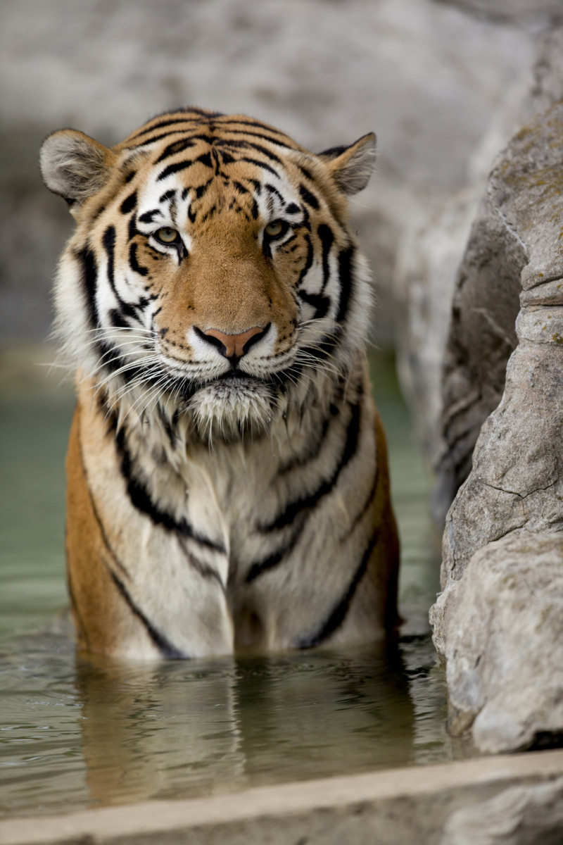 80 Tiger Names Amp Meanings