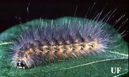 Furry Caterpillar Types and Identification Guide  HubPages
