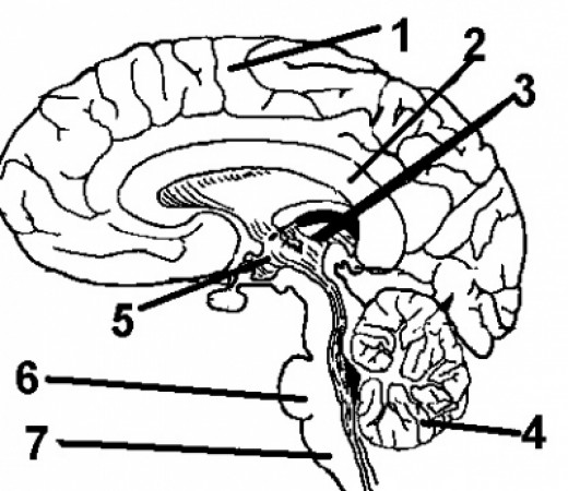 Anatomy and Physiology Coloring Pages and Coloring Books