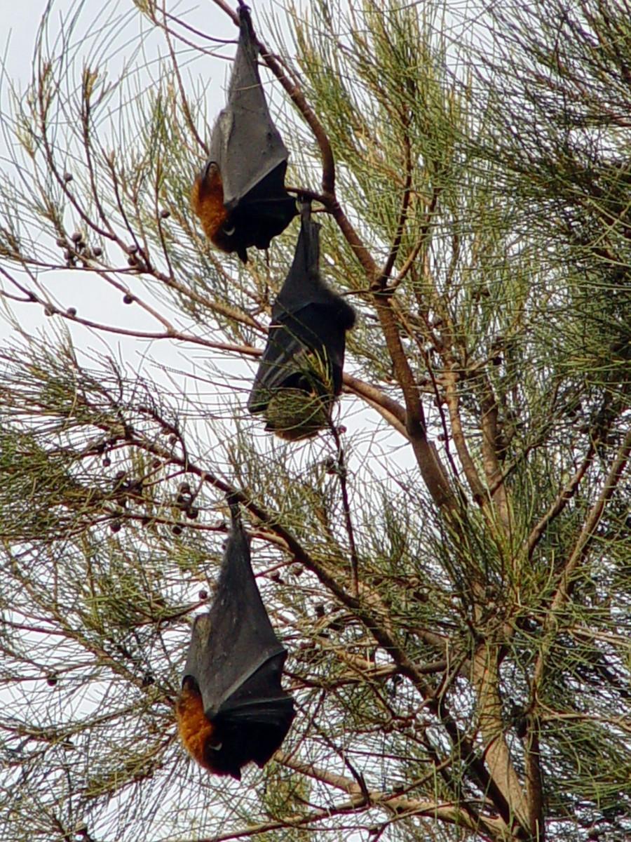 Large Philippines Bats