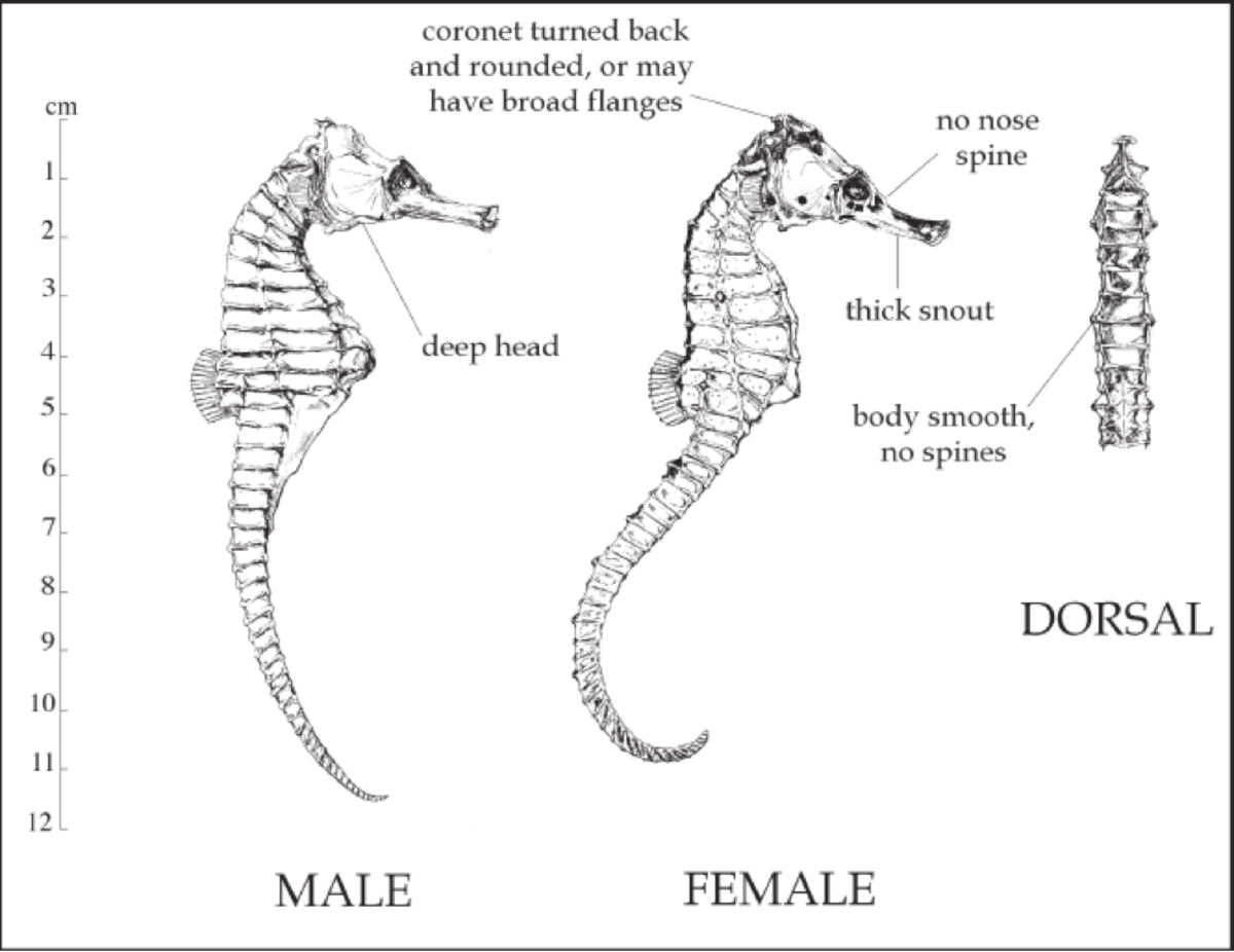 The Natural History of the Common Seahorse, Hippocampus