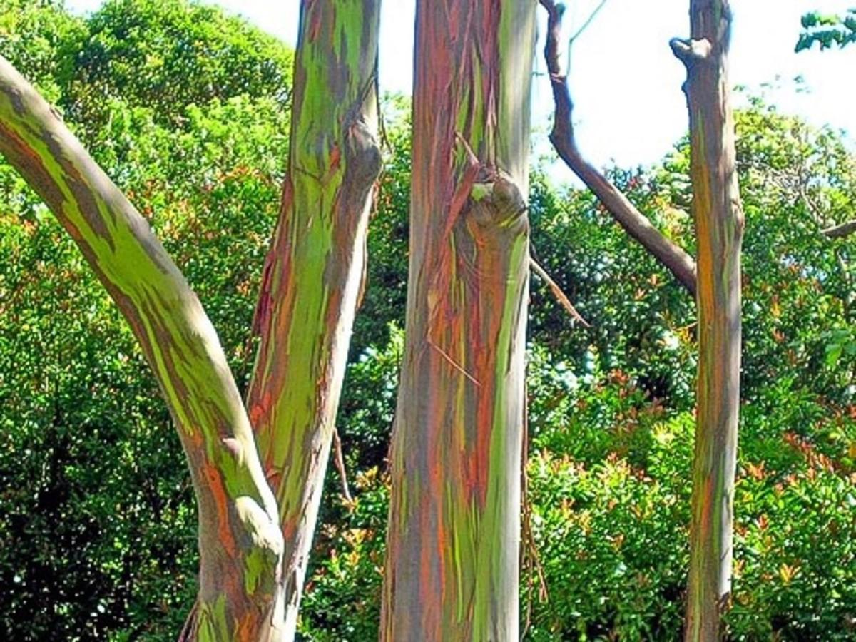 rainbow eucalyptus an unusual