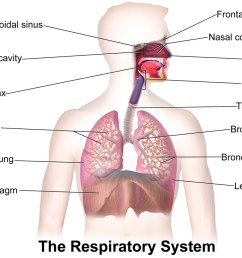 thirty surprising facts about the respiratory system [ 1024 x 819 Pixel ]