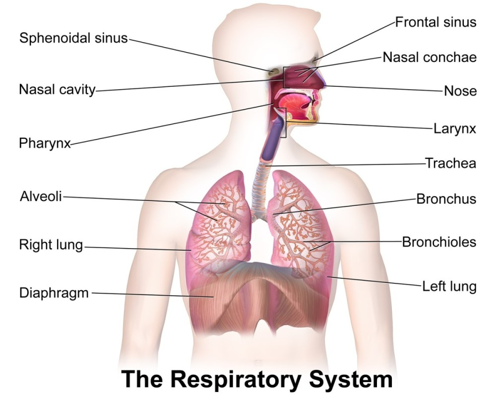medium resolution of thirty surprising facts about the respiratory system