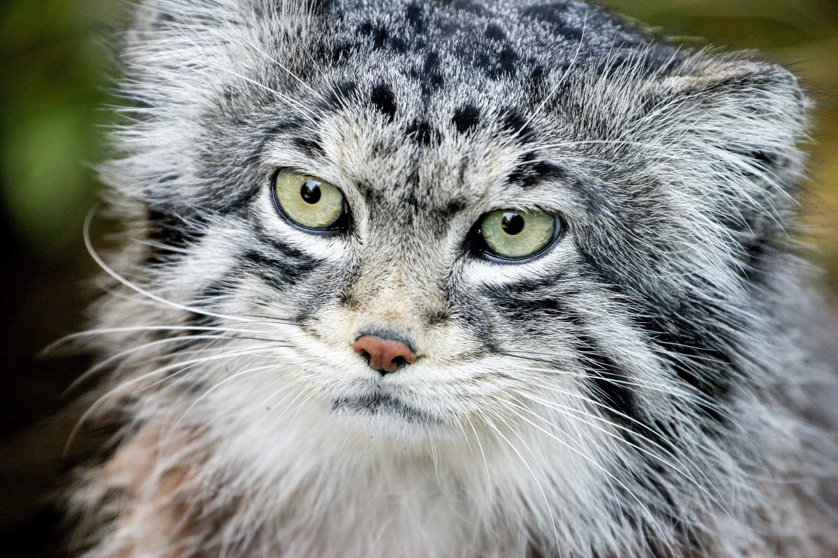 The Pallas Cat or Manul Facts Conservation and