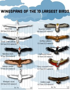The birds with largest wingspans in world also top on earth hubpages rh