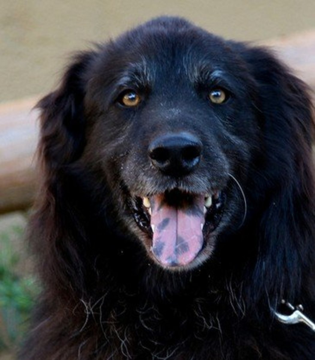 Dogs With Black Coloring In Their Mouths PetHelpful